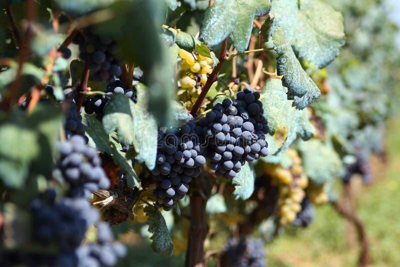 The grape stock photo