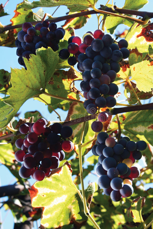 Free Grape And Leaf Stock Photo - 1307040