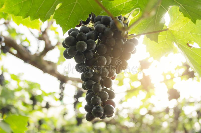 Grape Blurry Background,Grapes hanging on tree select focus and fair light stock images