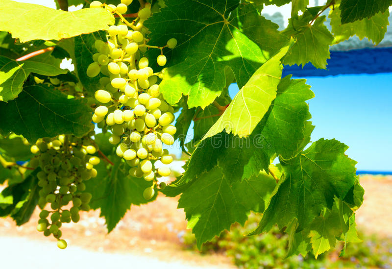 A grape branch with berries and leaves on a sky as background stock photography