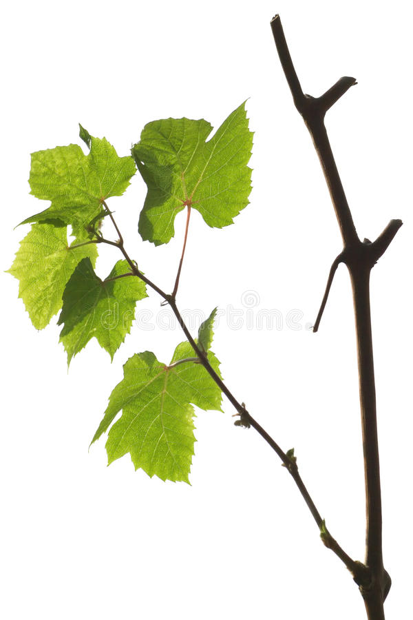 Grape branch with green leaves isolated on white stock image