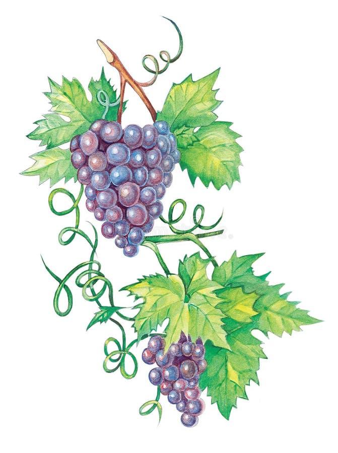 Grape Brunch stock illustration