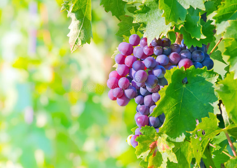 Grape bunch stock photography