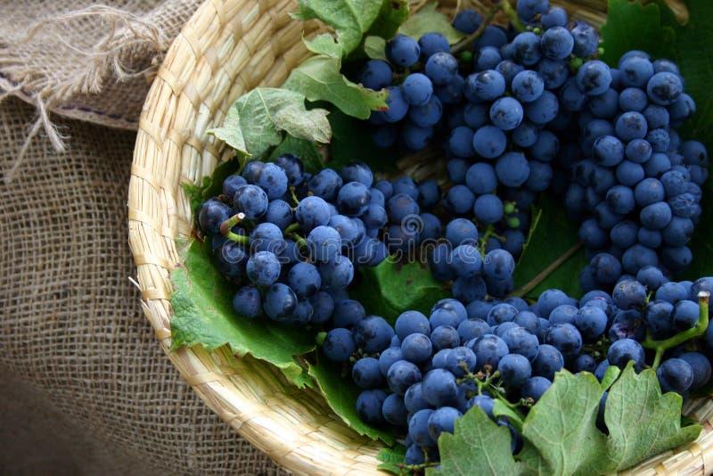 Grape bunch royalty free stock image