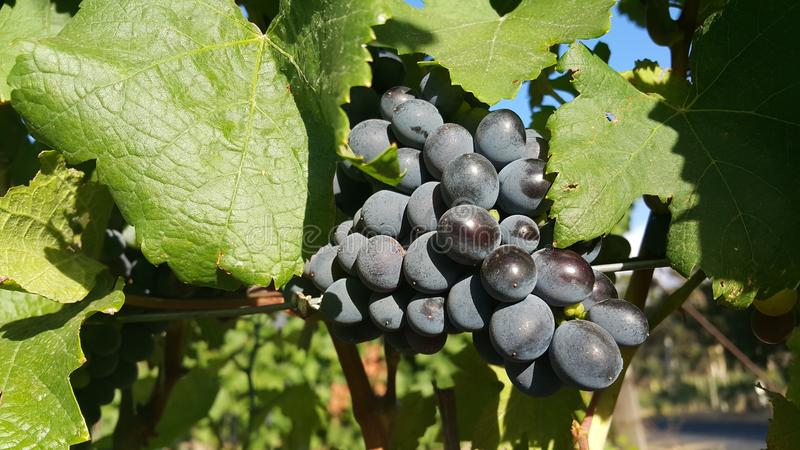 Download Grape stock photo. Image of grapes, wineland, surrounded - 83711592