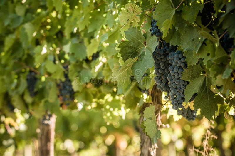 Grape bunch, very shallow focus.  stock photo