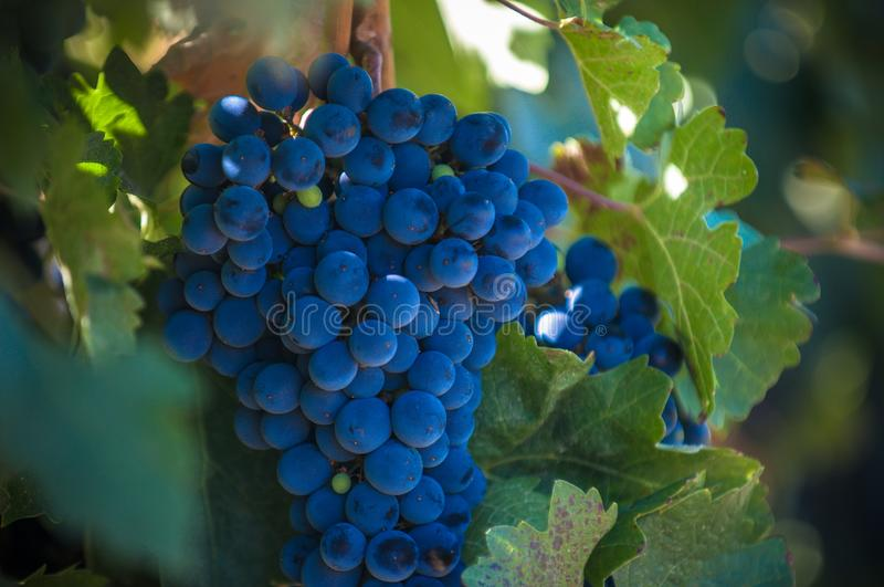 Grape bunch, very shallow focus.  stock photography