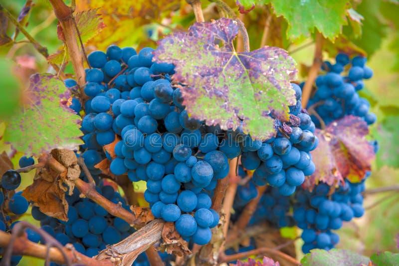 Grape bunch, very shallow focus. Ripe grape bunch, very shallow focus royalty free stock photos