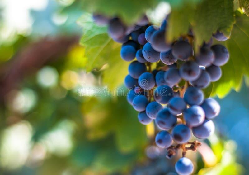 Grape bunch, very shallow focus. Ripe grape bunch, very shallow focus royalty free stock photography