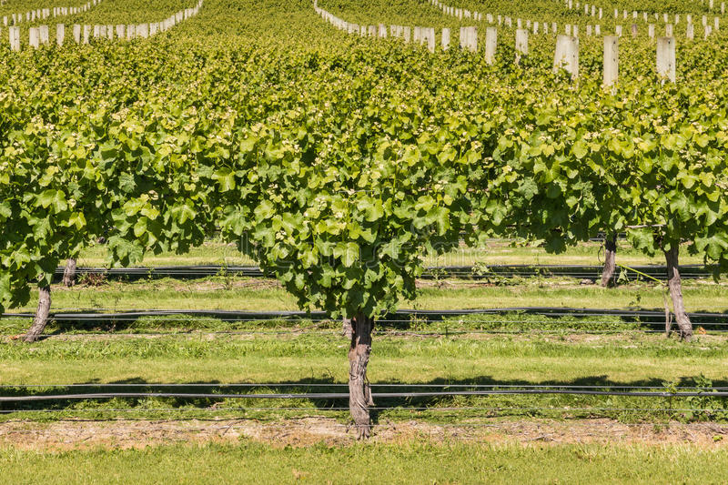 Download Grape Canopy Management In Vineyard Stock Image - Image of stalks grapevine 90708929 & Grape Canopy Management In Vineyard Stock Image - Image of stalks ...
