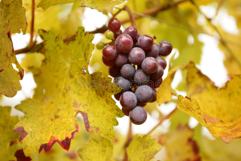 Download Grape cluster stock photo. Image of bright, cluster, grape - 21872316