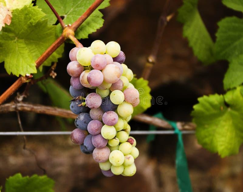 Download Grape Cluster stock image. Image of pinot, vineyard, ripening - 22133669