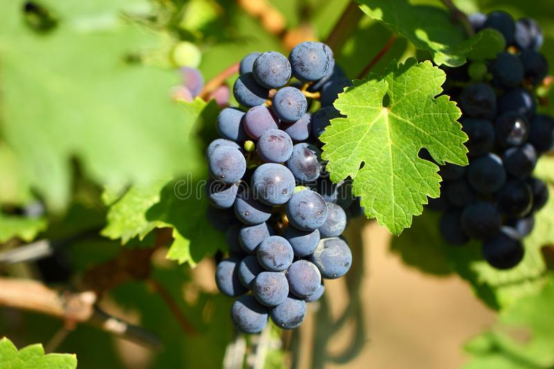 Grape cluster with blue dark berries hanging and ripening on a bush with leaves royalty free stock photos