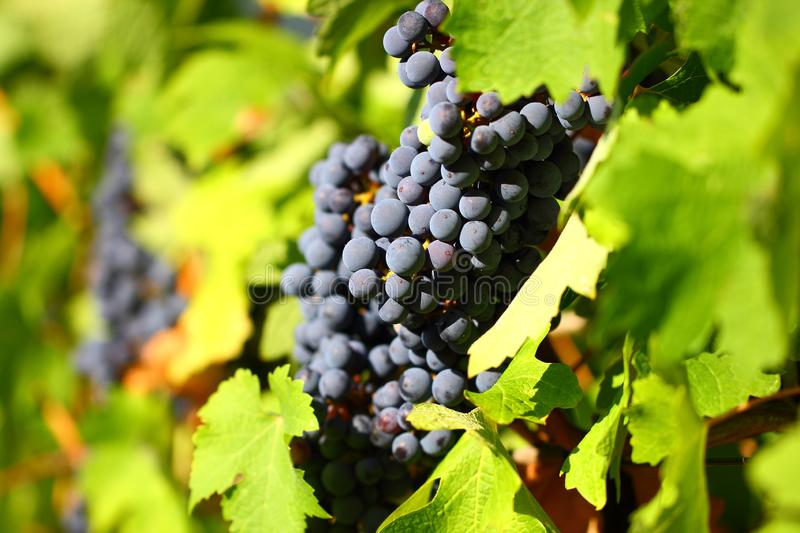 Grape cluster with blue dark berries hanging and ripening on a bush with leaves royalty free stock photography