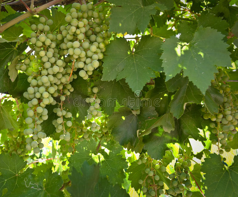 Grape Clusters on the Vine stock photo