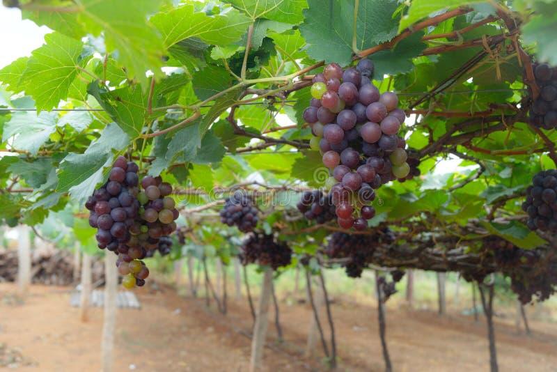 Grape Farm royalty free stock photography