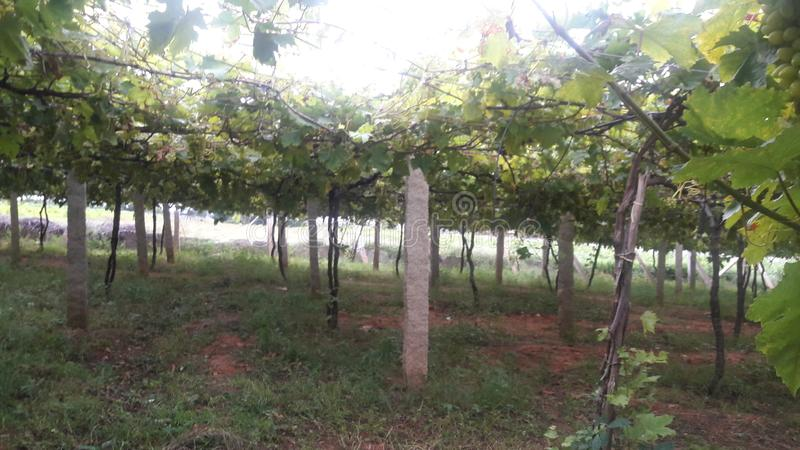 Grape farm royalty free stock photos