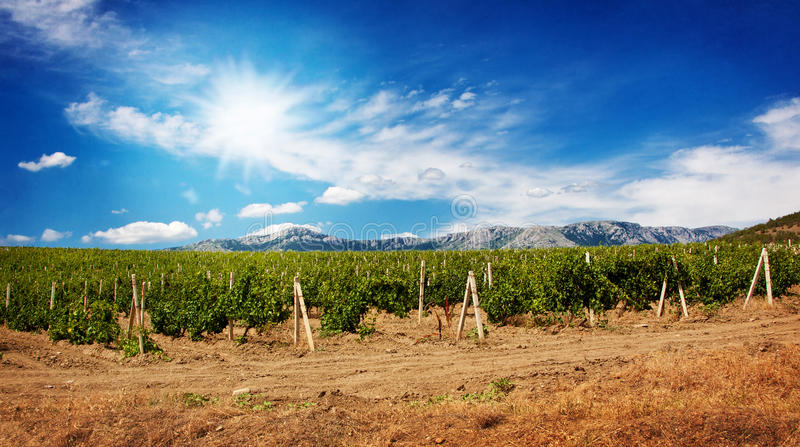 Grape field with blue sky and sun royalty free stock images