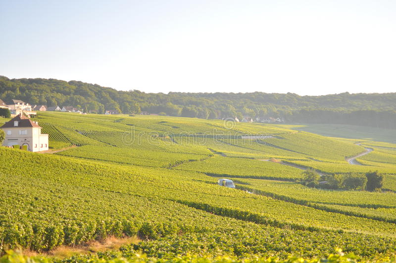 Grape field stock image