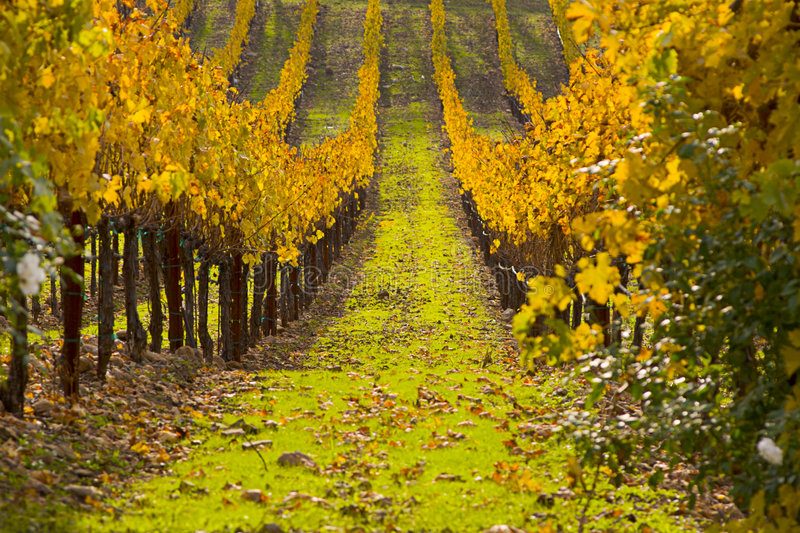 Download Grape Fields stock image. Image of leaves, grapes, rows - 66805
