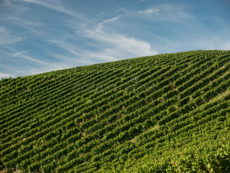 Grape fields with a blue sky. Harvest time. royalty free stock images