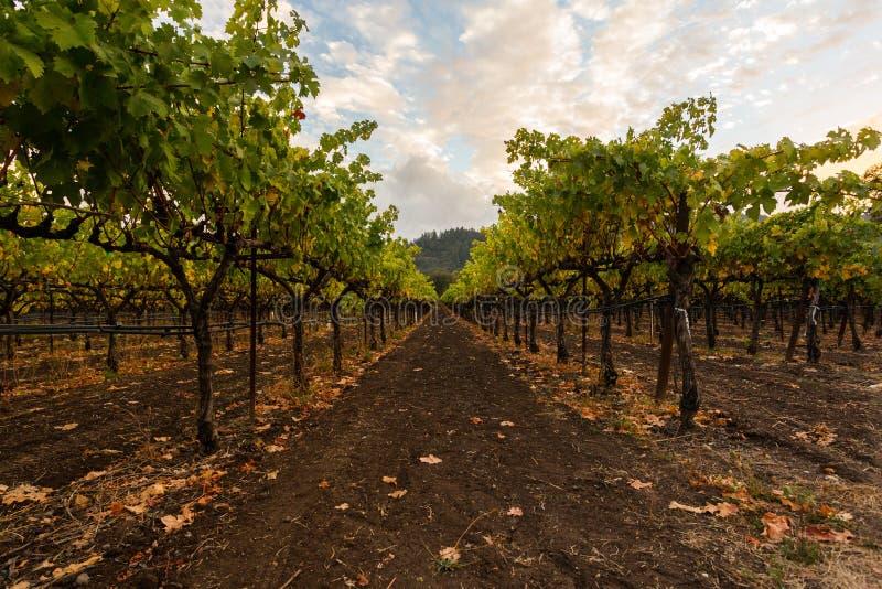 Grape fields of Napa Valley, California, United States. stock photo