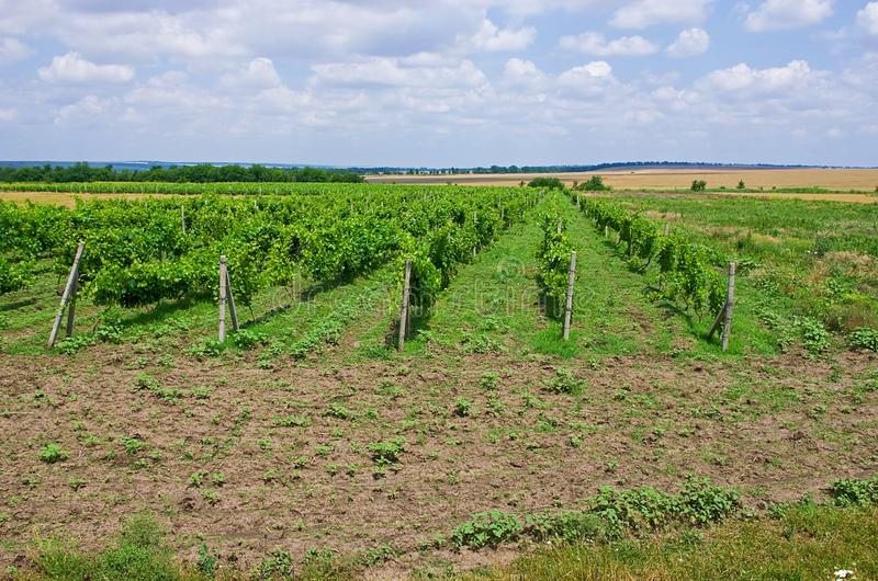 Grape fields. winemaking. agrarian culture royalty free stock photos