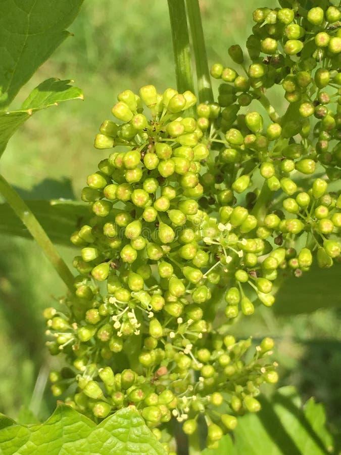 Grape flowering stock images