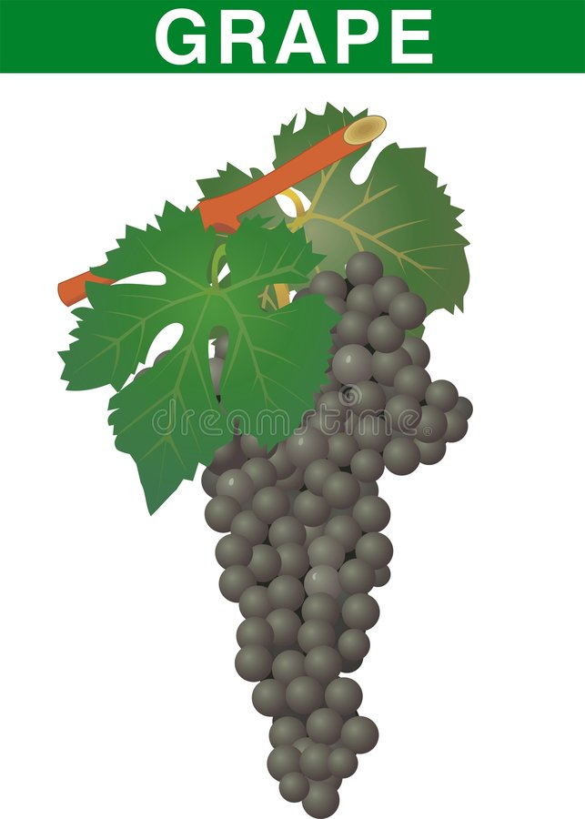 Download Grape fruit stock vector. Image of seasonal, thanksgiving - 6622504