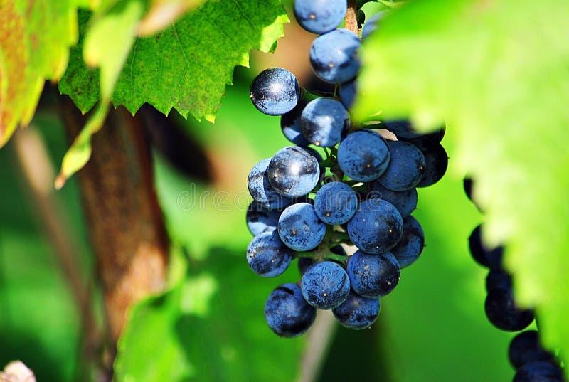 Grape, Fruit, Grapevine Family, Bilberry stock image