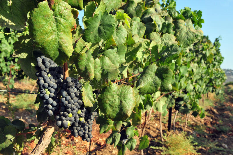 Grape fruit grows in a vineyard