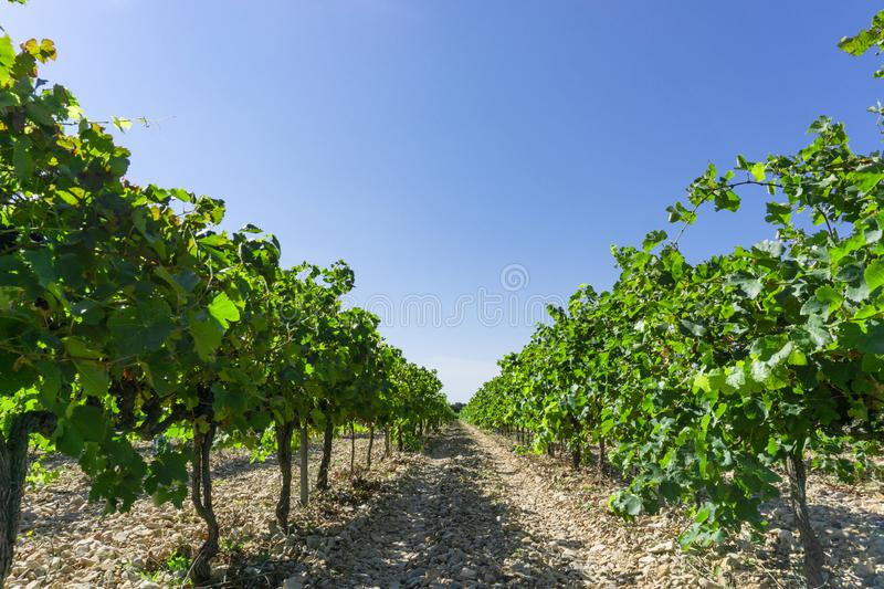 Grape fruit trees in the havest season, planting in the organic vineyard farm to produce the red wine, fresh dark black ripe grape. And green leafs on the stock photo