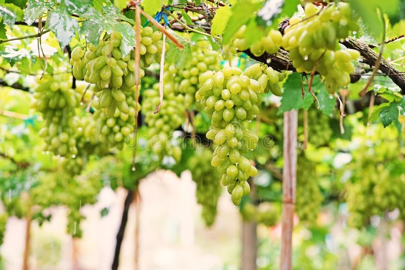 Grape; a fruiting berry;table grape. Grape is a fruiting berry of the deciduous woody vines;Grapes can be eaten fresh as table grapes or they can be used for royalty free stock photos