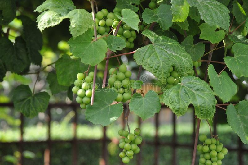 Grape, Grapevine Family, Vitis, Plant Free Public Domain Cc0 Image