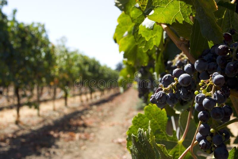 Grape growing close up stock photo