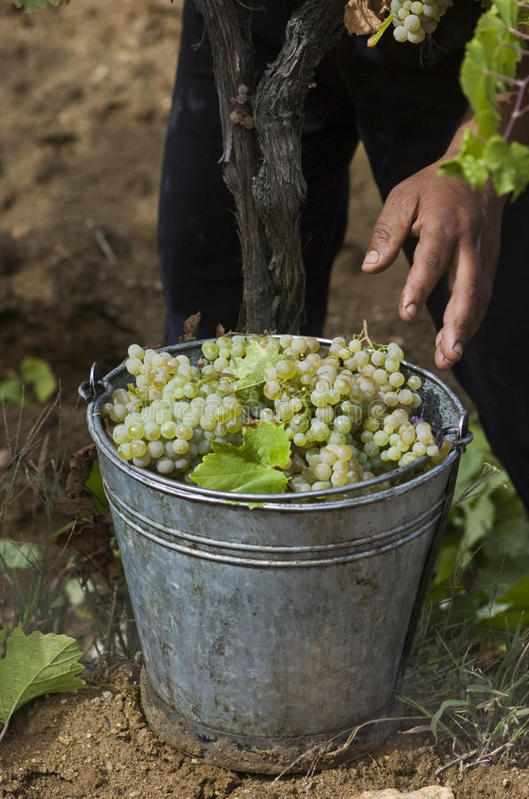 Download Grape harvest 01 stock photo. Image of hand, vino, agriculture - 14052918