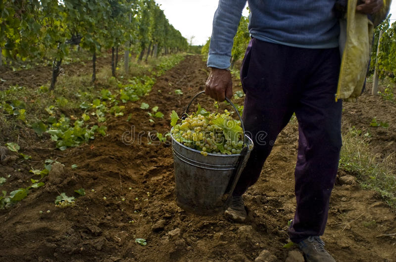 Download Grape harvest 02 stock photo. Image of vineyard, vintage - 14052928