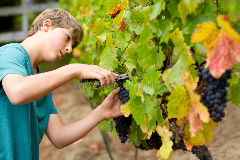Download Grape Harvest stock photo. Image of looking, food, field - 22733174