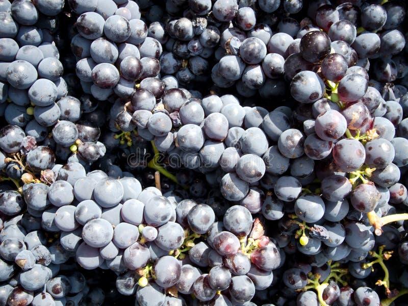 Download Grape harvest stock image. Image of harvesting, cultivation - 26895077