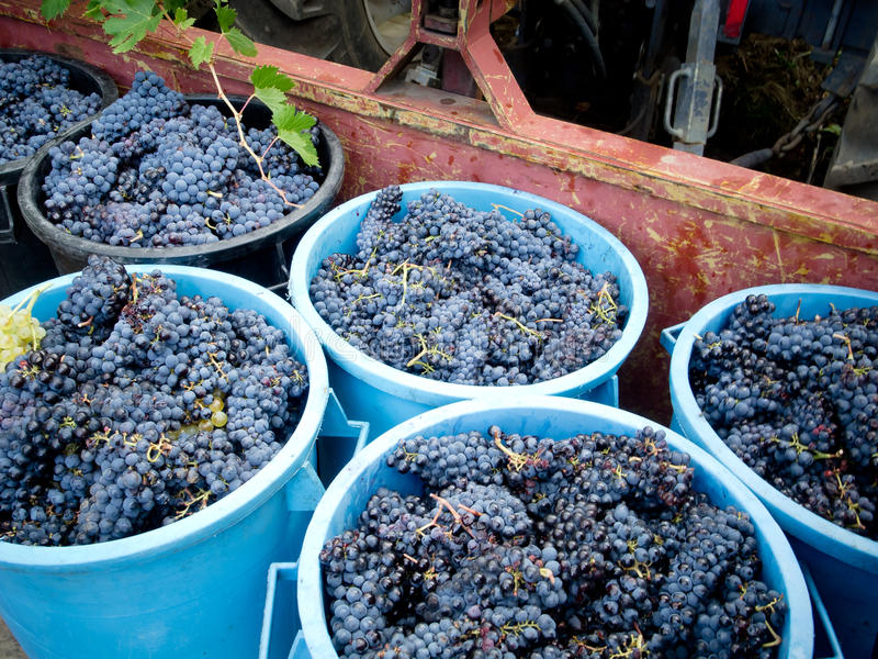 Download Grape harvest stock photo. Image of grapes, bunches, cultivation - 26895082
