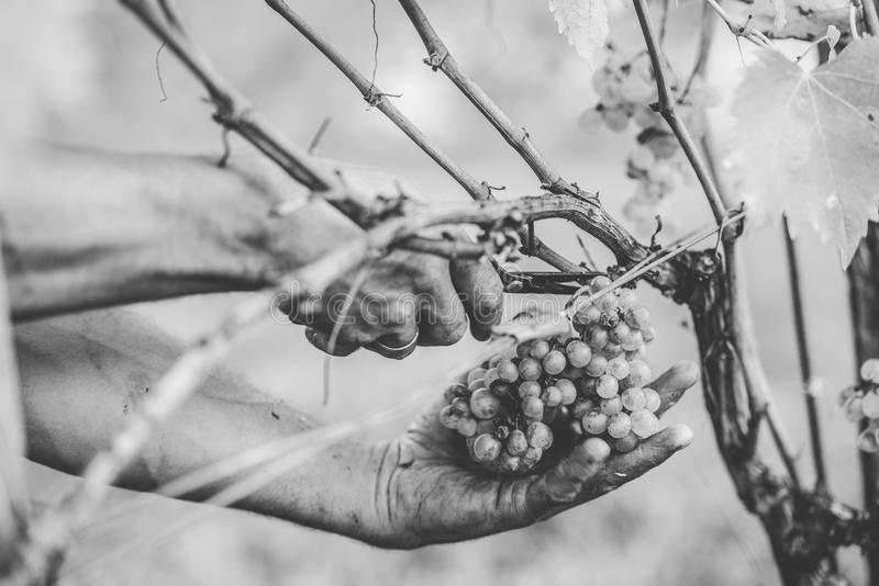 Download Grape Harvest In The Tuscan Hills. Stock Photo - Image: 83724024