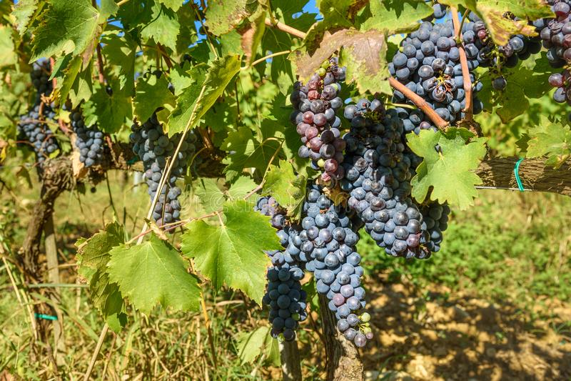 Grape harvest of Vineyard in Chianti region. Tuscany. Italy royalty free stock image