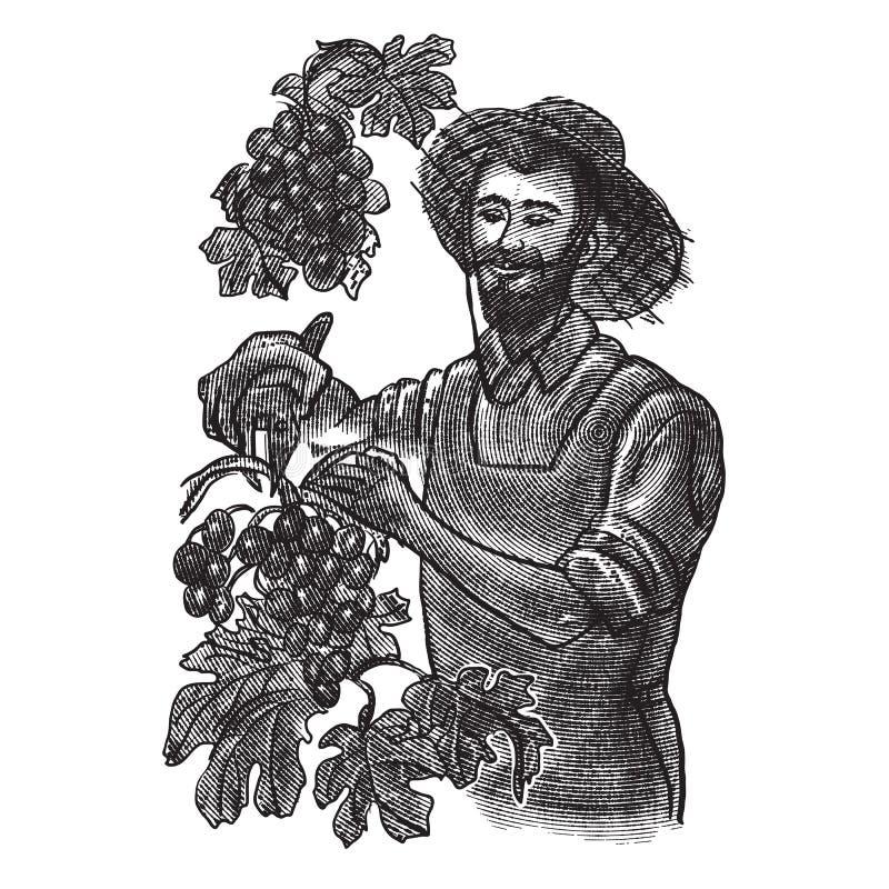 Grape harvest. farmer pick grapes. vector vintage illustration in engraving style. Grape harvest. winemaker hands pick grapes. vector vintage illustration in vector illustration
