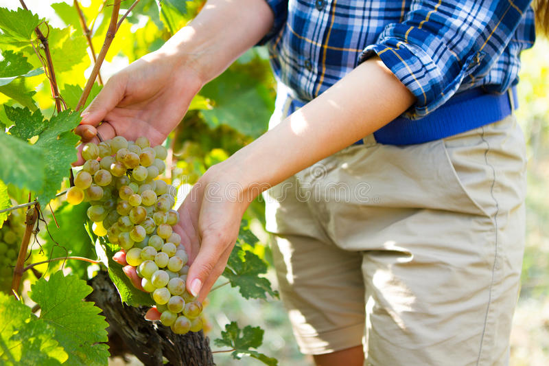 Grape harvesting in a vineyard in Kakheti region, Georgia. Woman. 's hands Close up. Harvesting the grapes theme royalty free stock photography