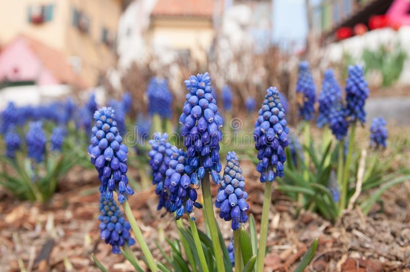 Grape hyacinth royalty free stock photos