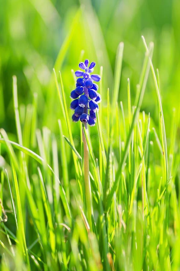 Free Grape Hyacinth Stock Photos - 19326353