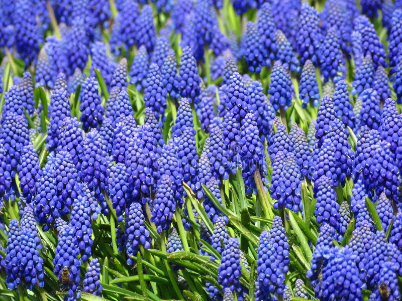 Grape Hyacinth bloom in spring season in the park garden. Beautiful small blue spring flower. stock photos