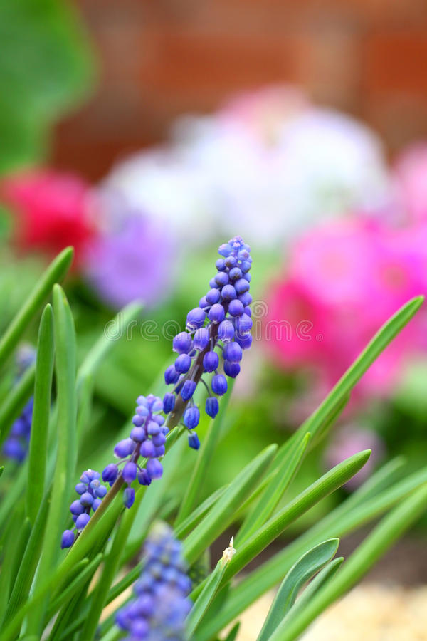 Free Grape Hyacinth In Spring Stock Photography - 18882722