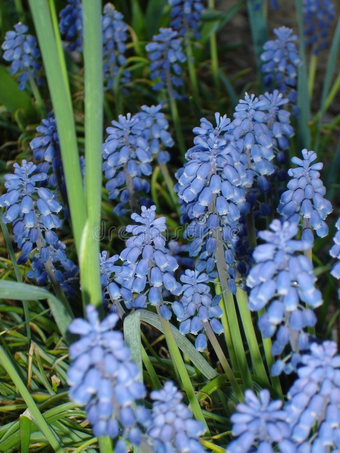 Grape Hyacinths stock photo