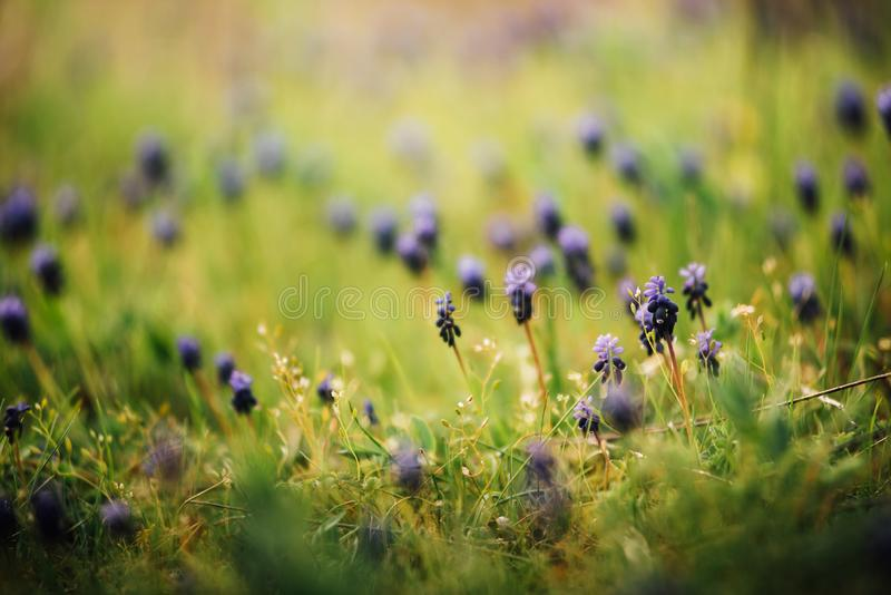 Grape Hyacinths. Spring Muscari armeniacum flowers in sunshine on a blurred background. stock images